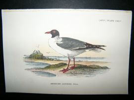 Allen 1890's Antique Bird Print. American Laughing Gull